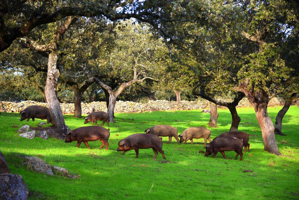 El cerdo de bellota ibérico recorriendo la dehesa de Monesterio.